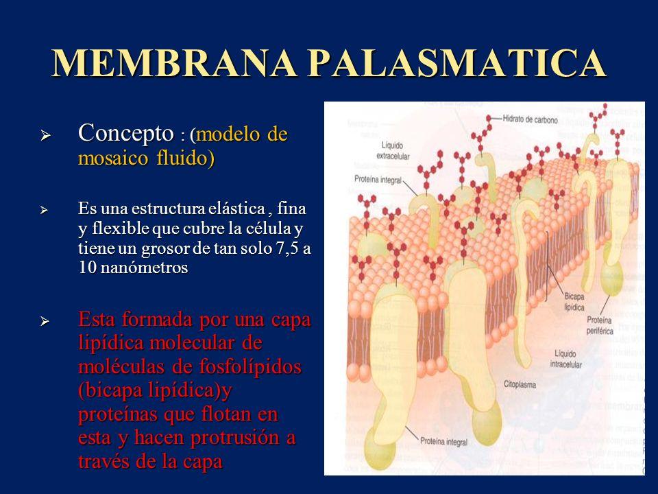 MEMBRANA PALASMATICA Concepto : ( modelo de mosaico fluido) Concepto : ( modelo de mosaico fluido) Es una estructura elástica, fina y flexible que cub