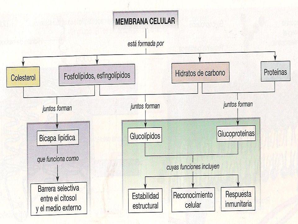 MEMBRANA PLASMATICA LIPIDOS DE MEMBRANA Asimetría; Asimetría; La composición lipídica de cada lado de una bicapa es diferente La composición lipídica de cada lado de una bicapa es diferente La membrana esta expuesta a un entorno diferente La membrana esta expuesta a un entorno diferente La biosíntesis de fosfolípidos solo se produce en un lado de la membrana La biosíntesis de fosfolípidos solo se produce en un lado de la membrana Los componentes proteicos exhiben también una asimetría considerables en dominios funcionales distintivos diferentes dentro de la membrana Los componentes proteicos exhiben también una asimetría considerables en dominios funcionales distintivos diferentes dentro de la membrana