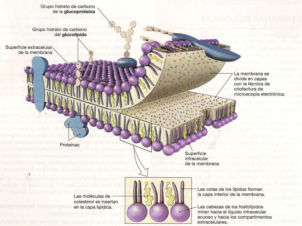 MEMBRANA PLASMATICA COMPOSICION QUIMICA Cada tipo celular tiene sus propias funciones Cada tipo celular tiene sus propias funciones La proporción de lípidos y proteínas varia entre los tipos celulares La proporción de lípidos y proteínas varia entre los tipos celulares Varia también las clases de lípidos y proteínas que se encuentran en cada membrana Varia también las clases de lípidos y proteínas que se encuentran en cada membrana