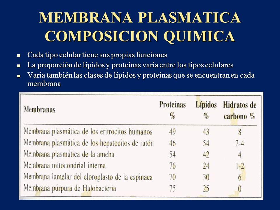 MEMBRANA PLASMATICA LIPIDOS DE LA MEMBRANA La bicapa lipídica esta formada por moléculas de fosfolípidos La bicapa lipídica esta formada por moléculas de fosfolípidos Un extremo de cada molécula de fosfolípido es soluble en agua,es hidrofilico ( extremo fosfato), el otro es soluble solo en grasas, es hidrófobo (la porción del ácido graso) Un extremo de cada molécula de fosfolípido es soluble en agua,es hidrofilico ( extremo fosfato), el otro es soluble solo en grasas, es hidrófobo (la porción del ácido graso) Las porciones hidrófobas son repelidas por el agua, tienen una tendencia natural a unirse unas a otras en la zona media de la membrana Las porciones hidrófobas son repelidas por el agua, tienen una tendencia natural a unirse unas a otras en la zona media de la membrana Las porciones hidrófilas constituyen las dos superficies de la membrana que están en contacto con el agua ( intracelular y extracelular) Las porciones hidrófilas constituyen las dos superficies de la membrana que están en contacto con el agua ( intracelular y extracelular)