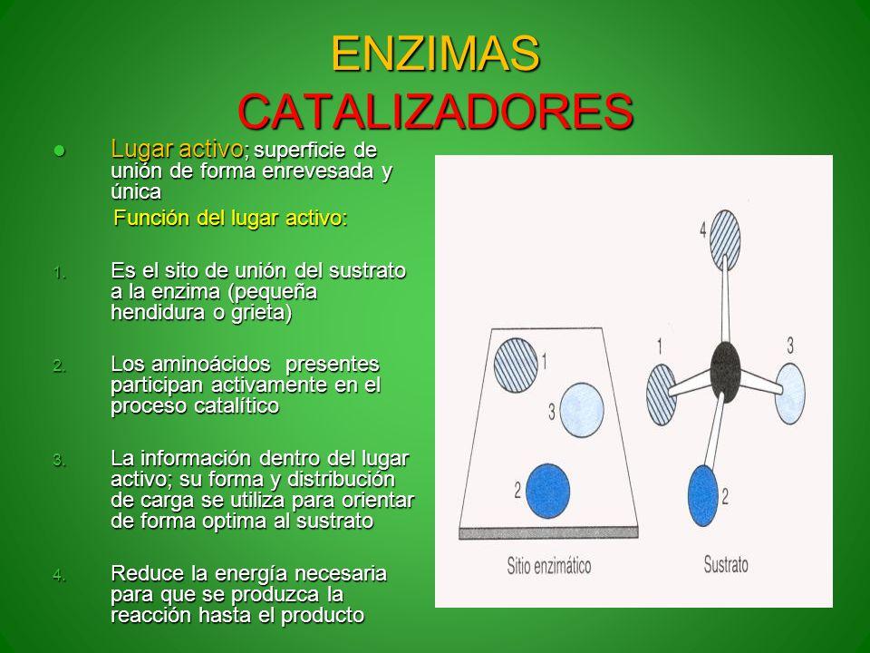 ENZIMAS CATALIZADORES Lugar activo ; superficie de unión de forma enrevesada y única Lugar activo ; superficie de unión de forma enrevesada y única Fu