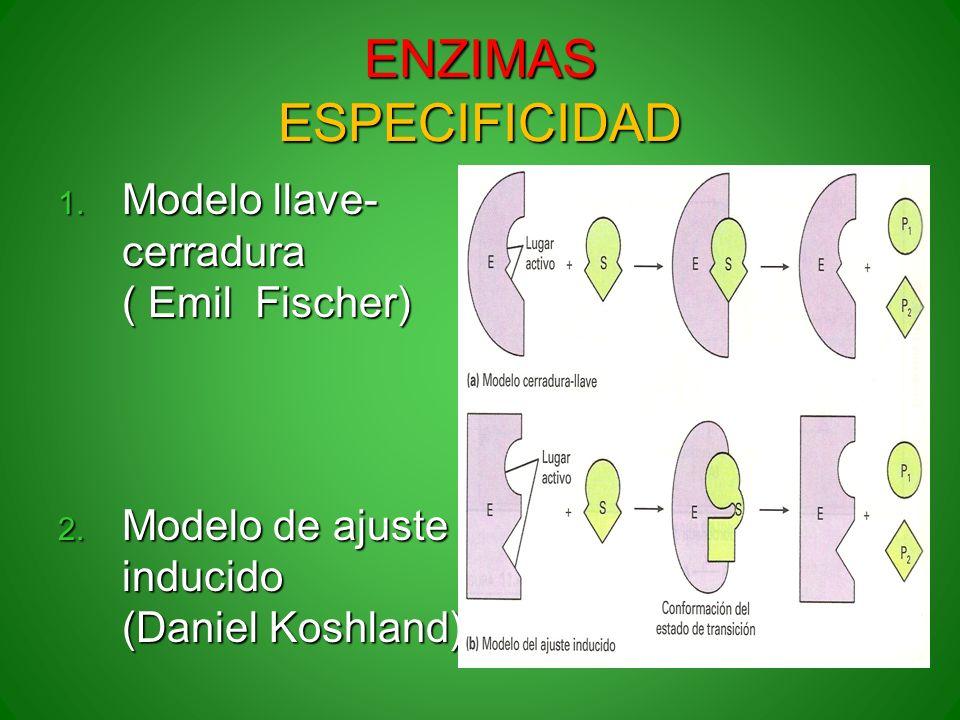 ENZIMAS ESPECIFICIDAD 1. Modelo llave- cerradura ( Emil Fischer) 2. Modelo de ajuste inducido (Daniel Koshland)