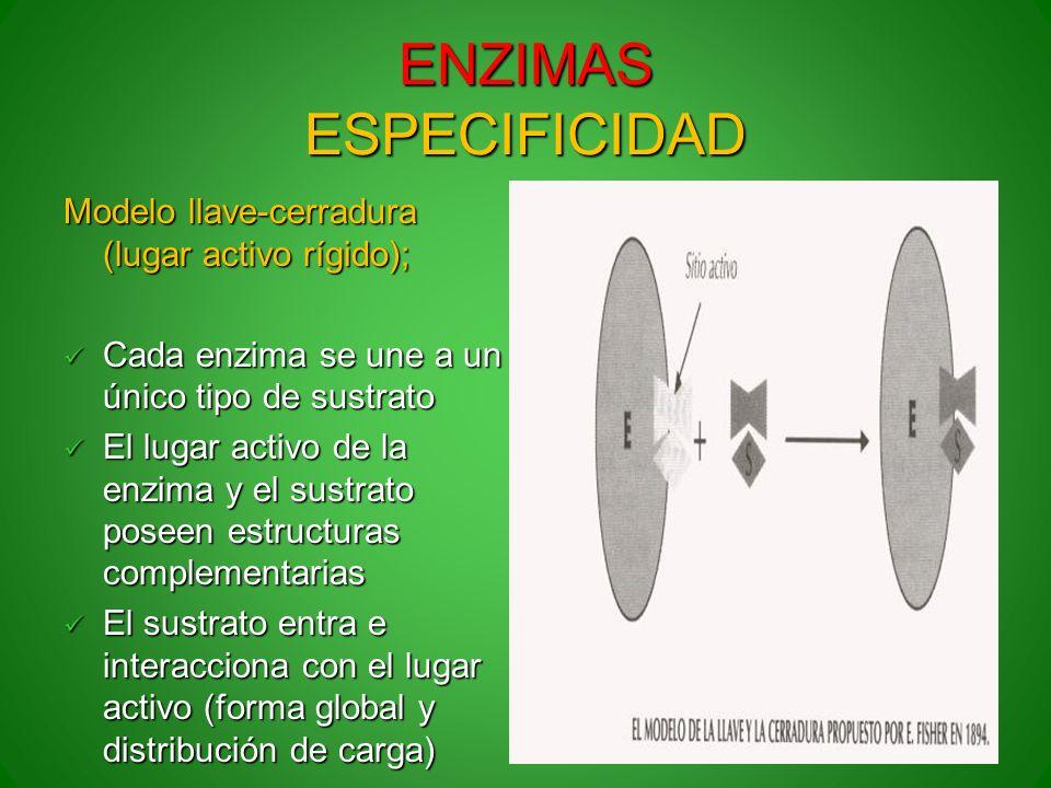 ENZIMAS ESPECIFICIDAD Modelo llave-cerradura (lugar activo rígido); Cada enzima se une a un único tipo de sustrato Cada enzima se une a un único tipo
