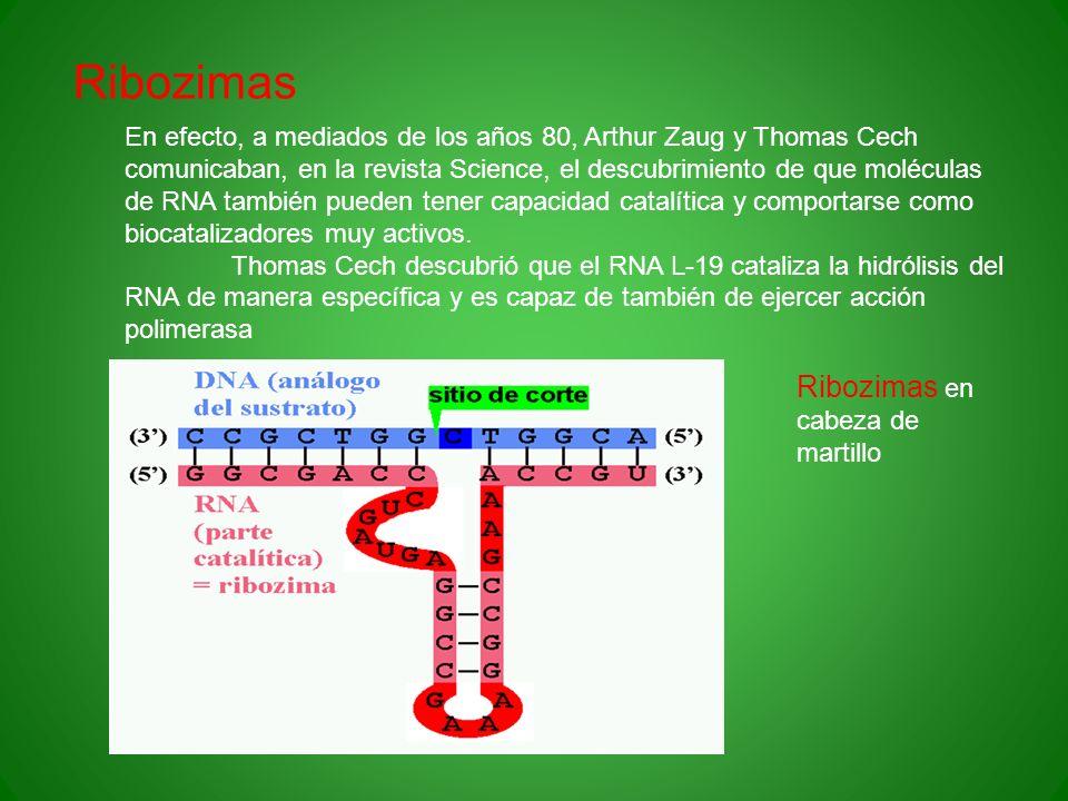 Ribozimas En efecto, a mediados de los años 80, Arthur Zaug y Thomas Cech comunicaban, en la revista Science, el descubrimiento de que moléculas de RN