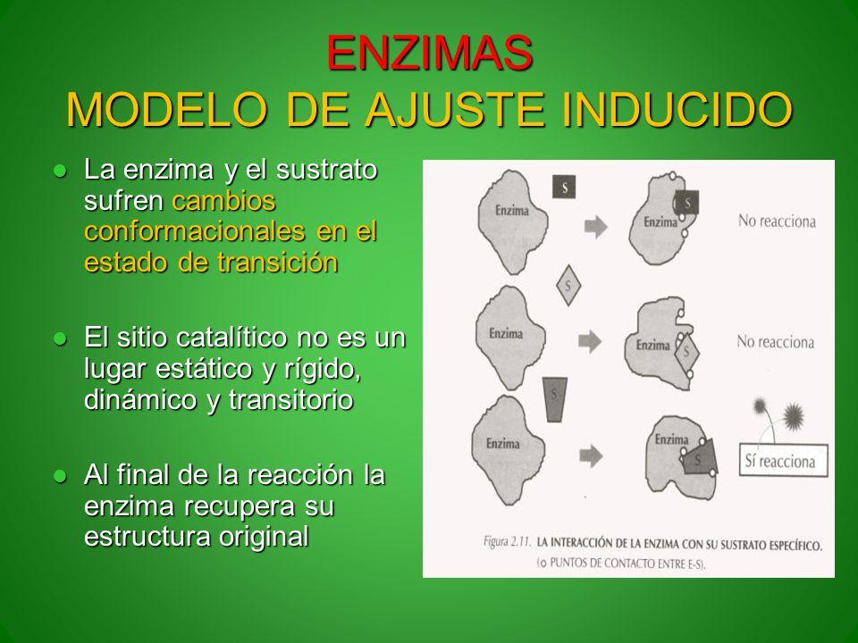 ENZIMAS MODELO DE AJUSTE INDUCIDO La enzima y el sustrato sufren cambios conformacionales en el estado de transición La enzima y el sustrato sufren ca