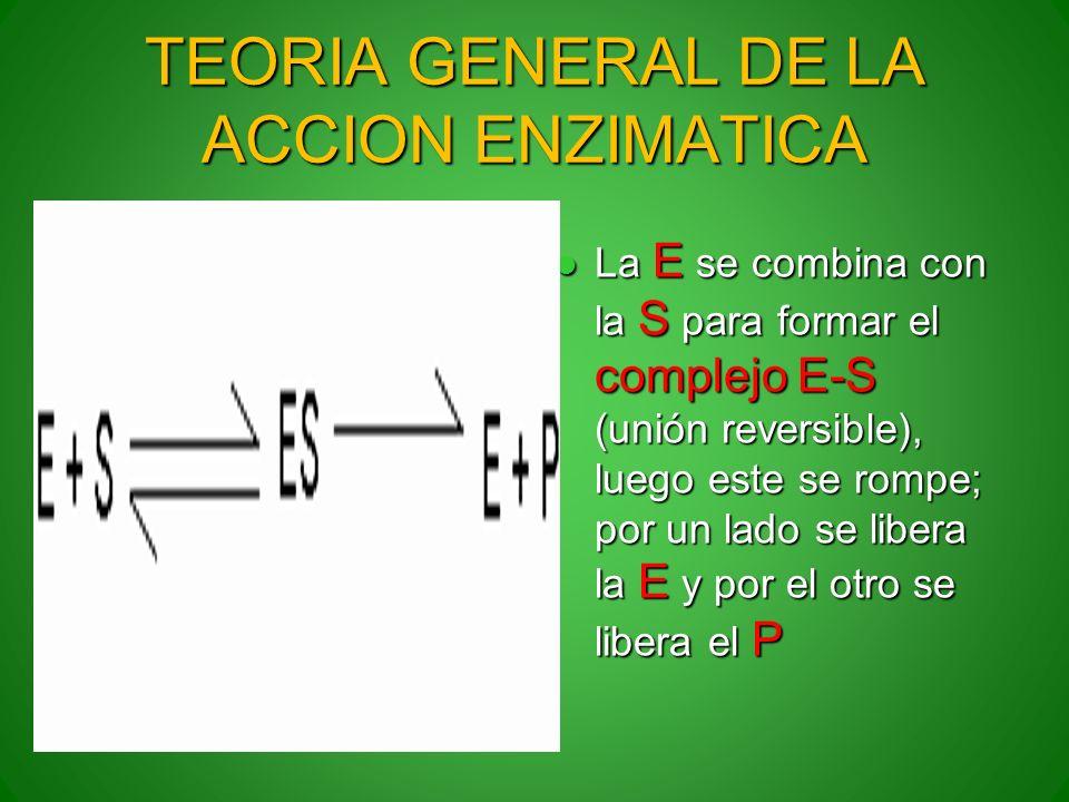 TEORIA GENERAL DE LA ACCION ENZIMATICA La E se combina con la S para formar el complejo E-S (unión reversible), luego este se rompe; por un lado se li