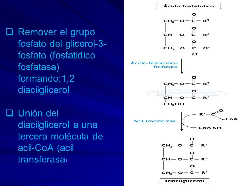 Remover el grupo fosfato del glicerol-3- fosfato (fosfatidico fosfatasa) formando;1,2 diacilglicerol Unión del diacilglicerol a una tercera molécula d