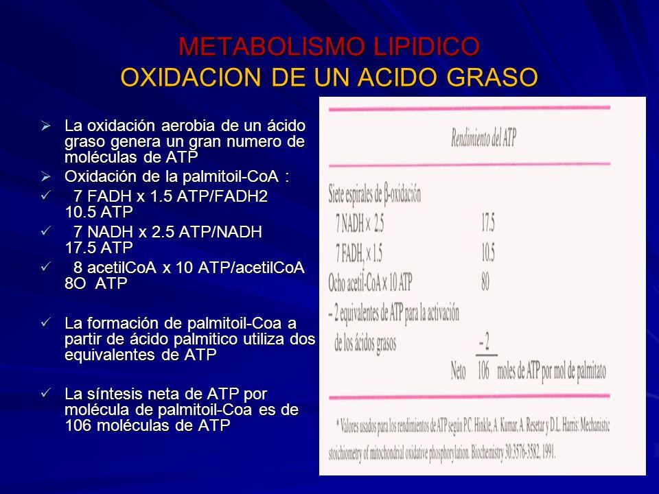 METABOLISMO LIPIDICO OXIDACION DE UN ACIDO GRASO La oxidación aerobia de un ácido graso genera un gran numero de moléculas de ATP La oxidación aerobia