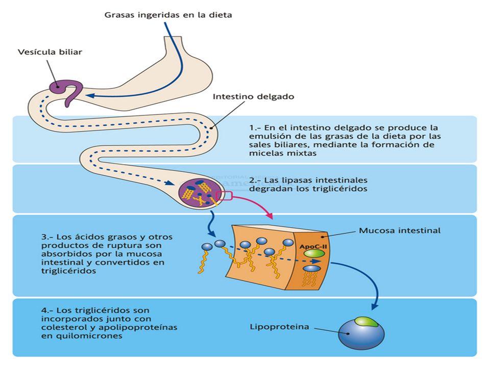 ENZIMAS DIGESTIVAS Triacilgliceroles ; lipasa pancreática colipasa colipasa monoacilglicerol y dos moléculas de ácidos graso monoacilglicerol y dos moléculas de ácidos graso Fosfolipidos ; Fosfolipasa A2 Acido graso y un acil lisofosfolipido Esteres de colesterol; colesterol esterasa (colesterilesterhidrolasa) Colesterol mas acido graso