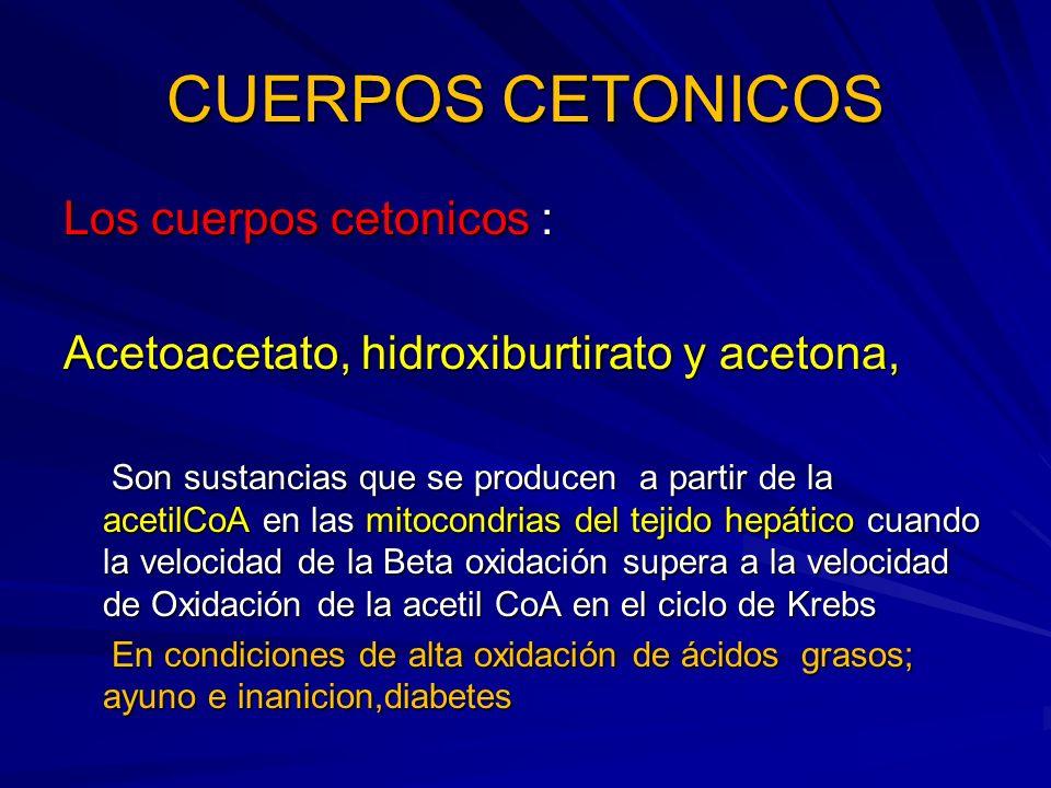CUERPOS CETONICOS Los cuerpos cetonicos : Acetoacetato, hidroxiburtirato y acetona, Son sustancias que se producen a partir de la acetilCoA en las mit