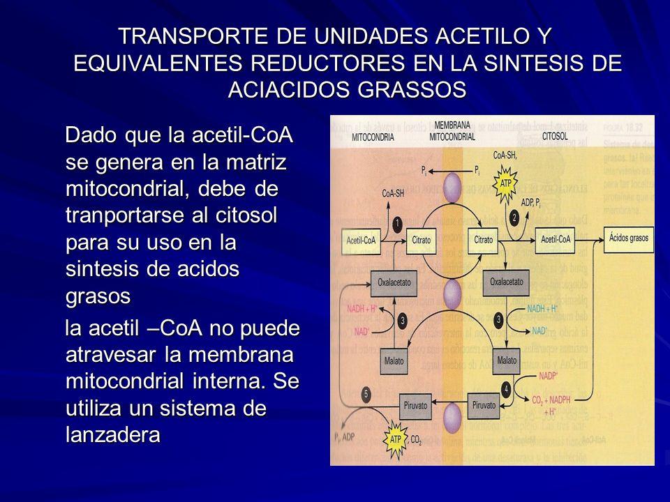 TRANSPORTE DE UNIDADES ACETILO Y EQUIVALENTES REDUCTORES EN LA SINTESIS DE ACIACIDOS GRASSOS Dado que la acetil-CoA se genera en la matriz mitocondria