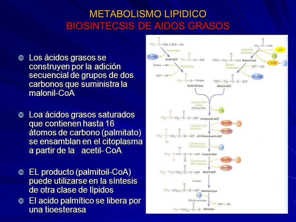 METABOLISMO LIPIDICO BIOSINTECSIS DE AIDOS GRASOS Los ácidos grasos se construyen por la adición secuencial de grupos de dos carbonos que suministra l