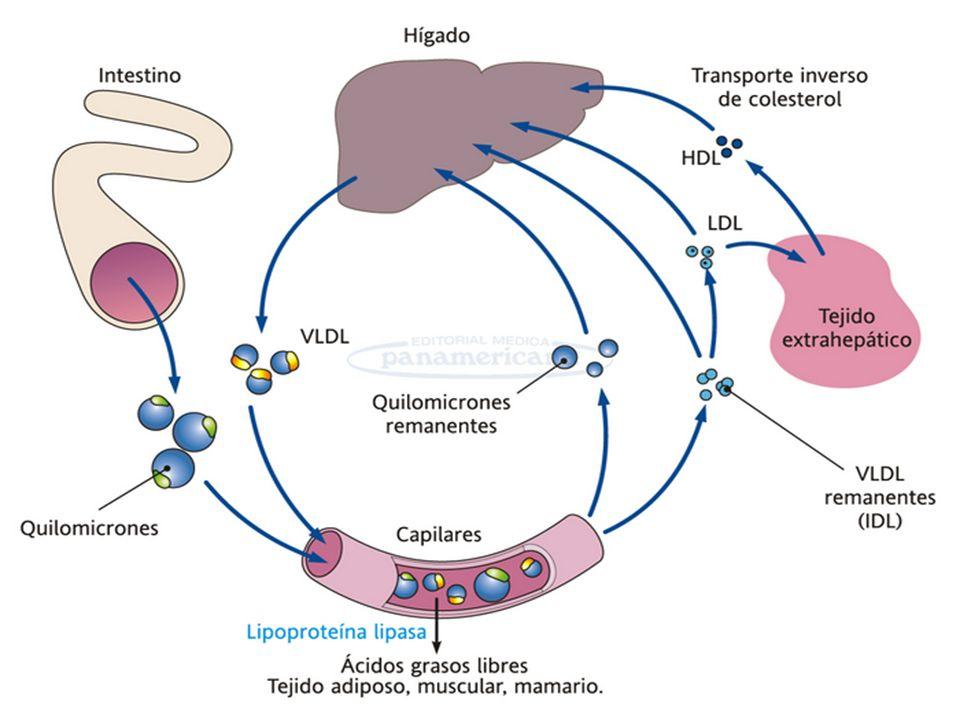 METABOLISMO LIPIDICO Músculo cardiaco y esquelético, glándula mamaria lactante y tejido adiposo ; enzima lipoproteína lipasa: Músculo cardiaco y esquelético, glándula mamaria lactante y tejido adiposo ; enzima lipoproteína lipasa: Convierte los triacilgliceroles de los quilomicrones en ácidos grasos y glicerol Convierte los triacilgliceroles de los quilomicrones en ácidos grasos y glicerol La lipoproteína lipasa se activa cuando se une a la apoproteina de los quilomicrones La lipoproteína lipasa se activa cuando se une a la apoproteina de los quilomicrones El glicerol no puede ser utilizado por el adiposito no tienes la enzima glicerol quinasa El glicerol no puede ser utilizado por el adiposito no tienes la enzima glicerol quinasa El hígado ; convierte el glicerol en glicerol-3-fosfato por la enzima glicerol quinasa El hígado ; convierte el glicerol en glicerol-3-fosfato por la enzima glicerol quinasa El adiposito obtiene el glicero -3-fosfato de la DHAP ( intermediario glucolitico) El adiposito obtiene el glicero -3-fosfato de la DHAP ( intermediario glucolitico)