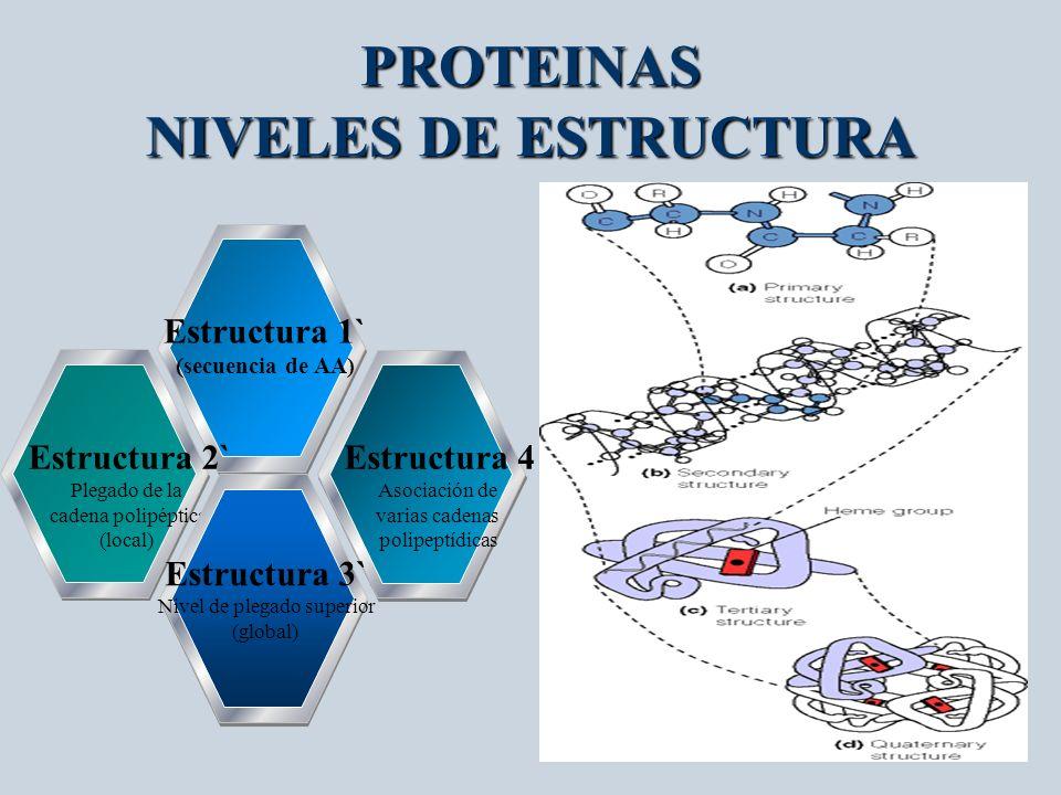 PROTEINAS NIVELES DE ESTRUCTURA Estructura 1` (secuencia de AA) Estructura 2` Plegado de la cadena polipéptica (local) Estructura 4 Asociación de vari