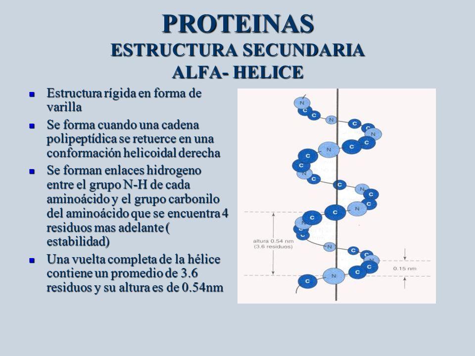PROTEINAS ESTRUCTURA SECUNDARIA ALFA- HELICE Estructura rígida en forma de varilla Estructura rígida en forma de varilla Se forma cuando una cadena po