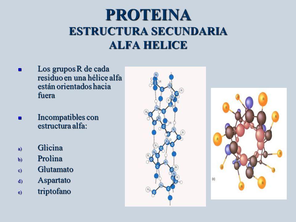 PROTEINA ESTRUCTURA SECUNDARIA ALFA HELICE Los grupos R de cada residuo en una hélice alfa están orientados hacia fuera Los grupos R de cada residuo e