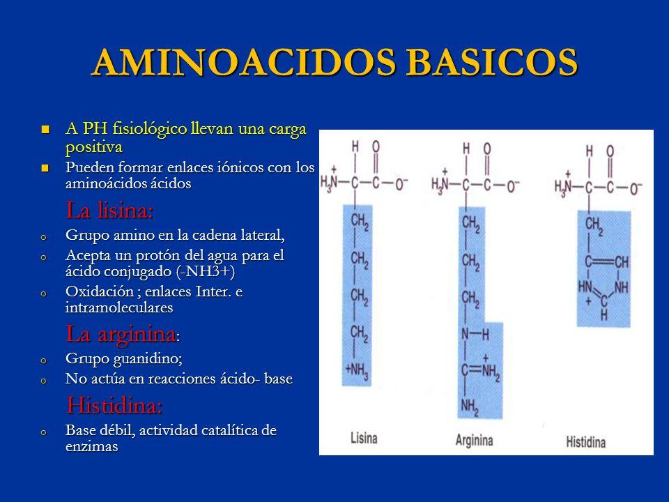 AMINOACIDOS BASICOS A PH fisiológico llevan una carga positiva A PH fisiológico llevan una carga positiva Pueden formar enlaces iónicos con los aminoá