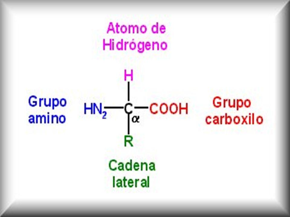AMINOACIDOS ALFA Clase mas frecuente Clase mas frecuente El grupo amino esta unido al átomo de carbono ( carbono alfa), inmediatamente adyacente al grupo carboxilo El grupo amino esta unido al átomo de carbono ( carbono alfa), inmediatamente adyacente al grupo carboxilo Unido al carbono central alfa esta otro grupo, cadena lateral o grupo R (propiedades químicas; hidrófobas o hidrófilas, interacción de grupos R; función biológica) Unido al carbono central alfa esta otro grupo, cadena lateral o grupo R (propiedades químicas; hidrófobas o hidrófilas, interacción de grupos R; función biológica)