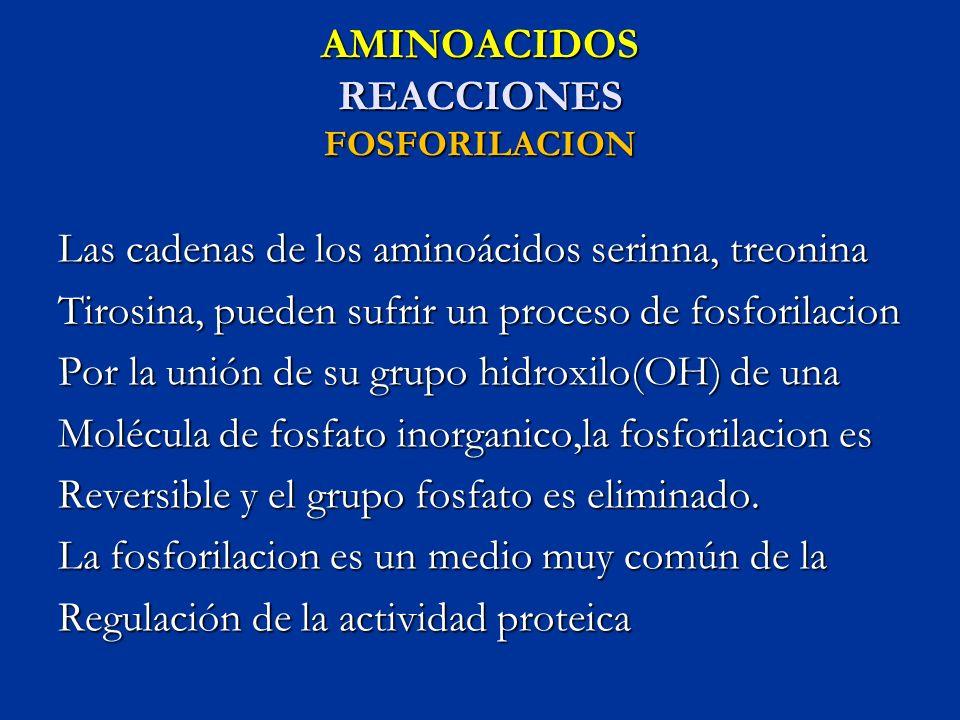 AMINOACIDOS REACCIONES FOSFORILACION Las cadenas de los aminoácidos serinna, treonina Tirosina, pueden sufrir un proceso de fosforilacion Por la unión