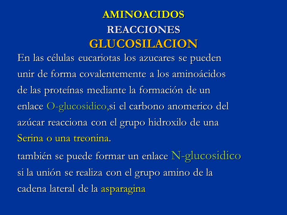 AMINOACIDOS REACCIONES GLUCOSILACION En las células eucariotas los azucares se pueden unir de forma covalentemente a los aminoácidos de las proteínas