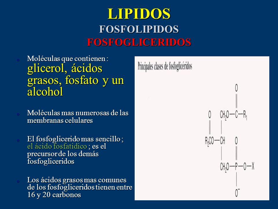 LIPIDOS FOSFOLIPIDOS FOSFOGLICERIDOS o Moléculas que contienen : glicerol, ácidos grasos, fosfato y un alcohol o Moléculas mas numerosas de las membra