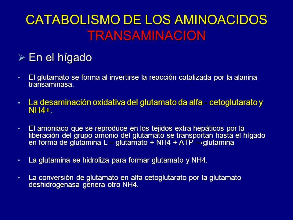 CATABOLISMO DE LOS AMINOACIDOS TRANSAMINACION En el hígado En el hígado El glutamato se forma al invertirse la reacción catalizada por la alanina tran