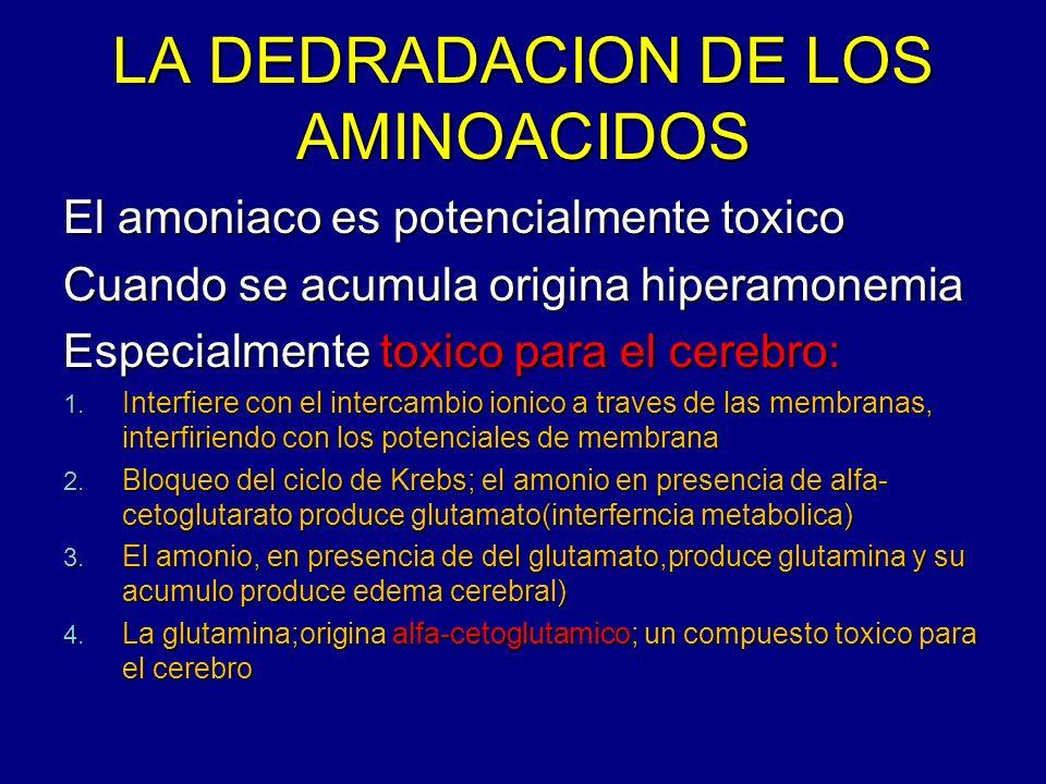 LA DEDRADACION DE LOS AMINOACIDOS El amoniaco es potencialmente toxico Cuando se acumula origina hiperamonemia Especialmente toxico para el cerebro: 1