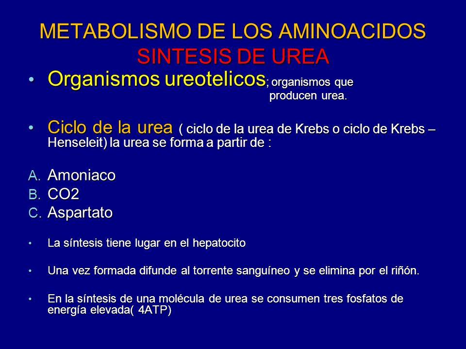 METABOLISMO DE LOS AMINOACIDOS SINTESIS DE UREA Organismos ureotelicos ; organismos que producen urea. Organismos ureotelicos ; organismos que produce