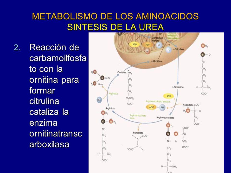 METABOLISMO DE LOS AMINOACIDOS SINTESIS DE LA UREA 2. Reacción de carbamoilfosfa to con la ornitina para formar citrulina cataliza la enzima ornitinat