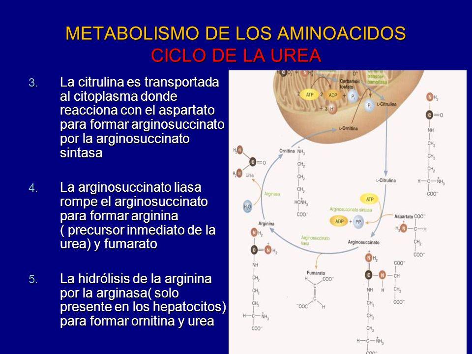 METABOLISMO DE LOS AMINOACIDOS CICLO DE LA UREA 3. La citrulina es transportada al citoplasma donde reacciona con el aspartato para formar arginosucci