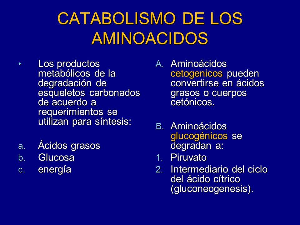 CATABOLISMO DE LOS AMINOACIDOS Los productos metabólicos de la degradación de esqueletos carbonados de acuerdo a requerimientos se utilizan para sínte