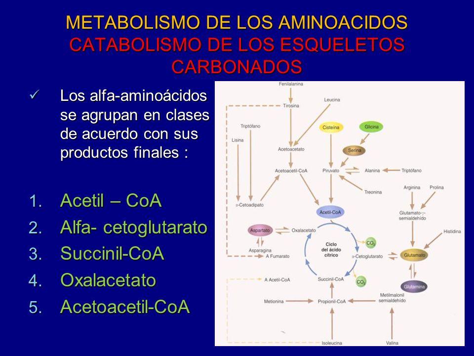 METABOLISMO DE LOS AMINOACIDOS CATABOLISMO DE LOS ESQUELETOS CARBONADOS Los alfa-aminoácidos se agrupan en clases de acuerdo con sus productos finales