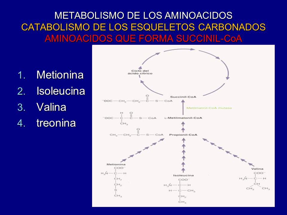 METABOLISMO DE LOS AMINOACIDOS CATABOLISMO DE LOS ESQUELETOS CARBONADOS AMINOACIDOS QUE FORMA SUCCINIL-CoA 1. Metionina 2. Isoleucina 3. Valina 4. tre