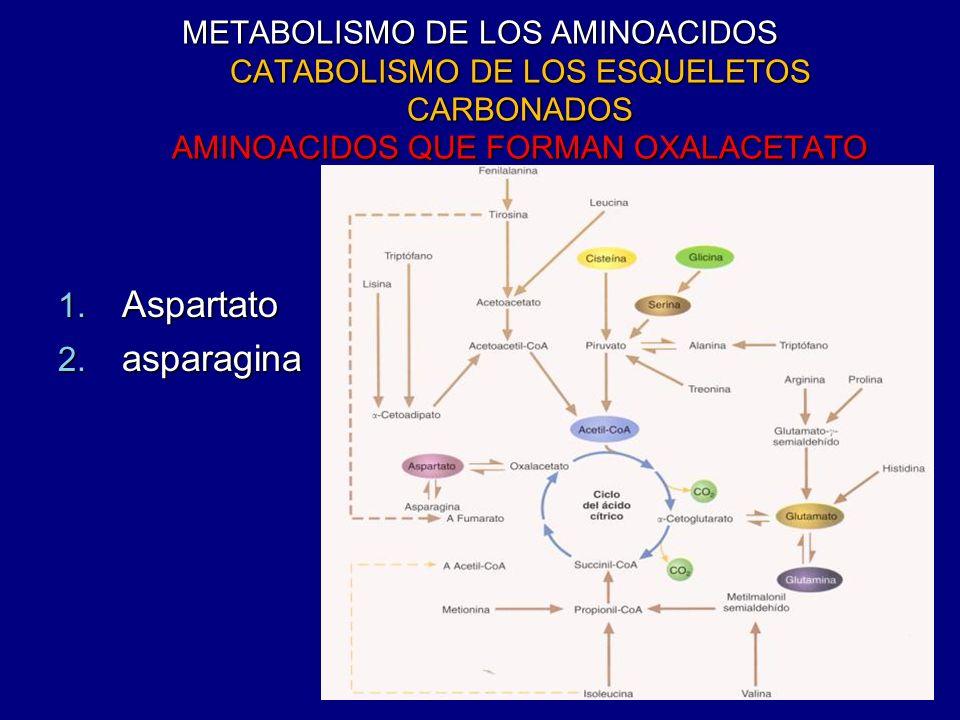 METABOLISMO DE LOS AMINOACIDOS CATABOLISMO DE LOS ESQUELETOS CARBONADOS AMINOACIDOS QUE FORMAN OXALACETATO 1. Aspartato 2. asparagina