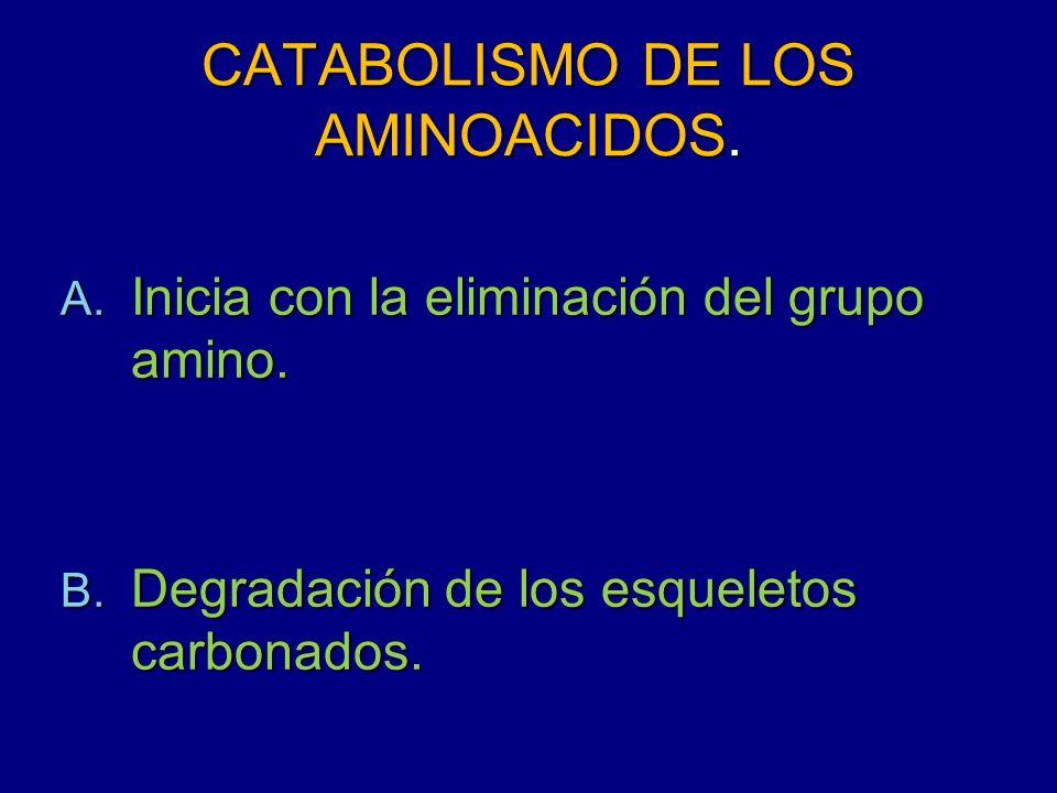 CATABOLISMO DE LOS AMINOACIDOS. A. Inicia con la eliminación del grupo amino. B. Degradación de los esqueletos carbonados.