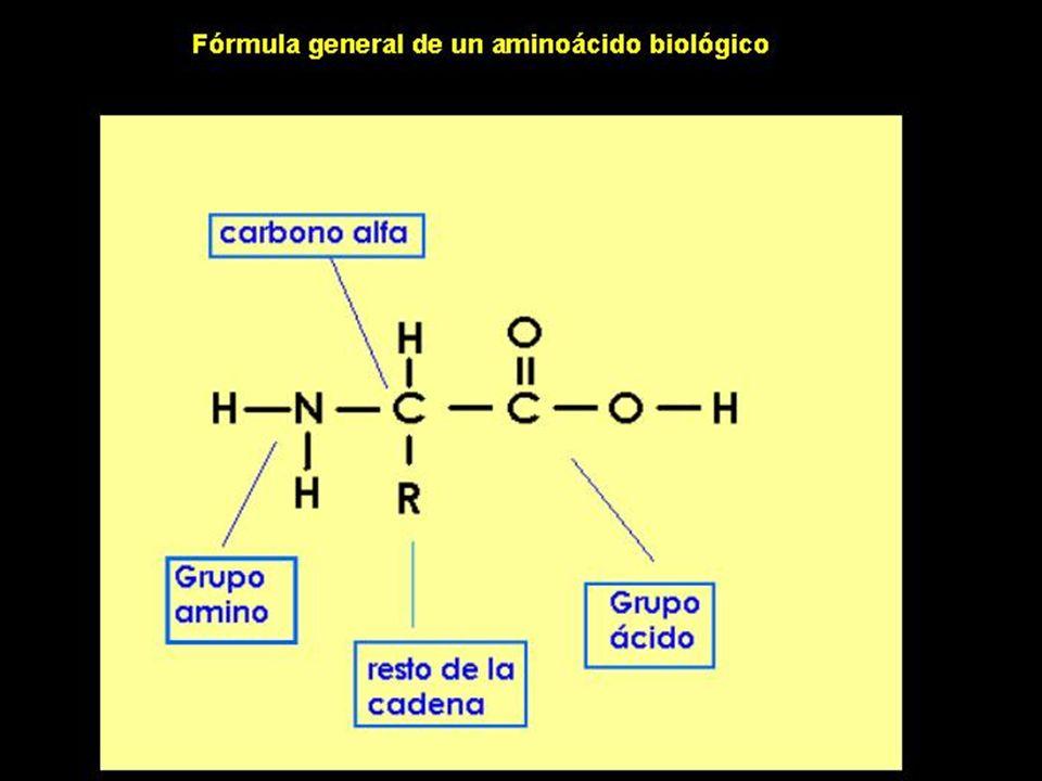 CATABOLISMO DE LOS AMINOACIDOS DESAMINACION Eliminación del grupo alfa – amino de los aminoacidos.