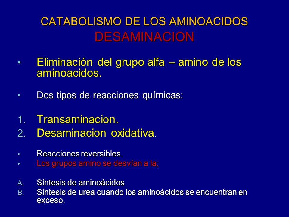 CATABOLISMO DE LOS AMINOACIDOS DESAMINACION Eliminación del grupo alfa – amino de los aminoacidos. Eliminación del grupo alfa – amino de los aminoacid