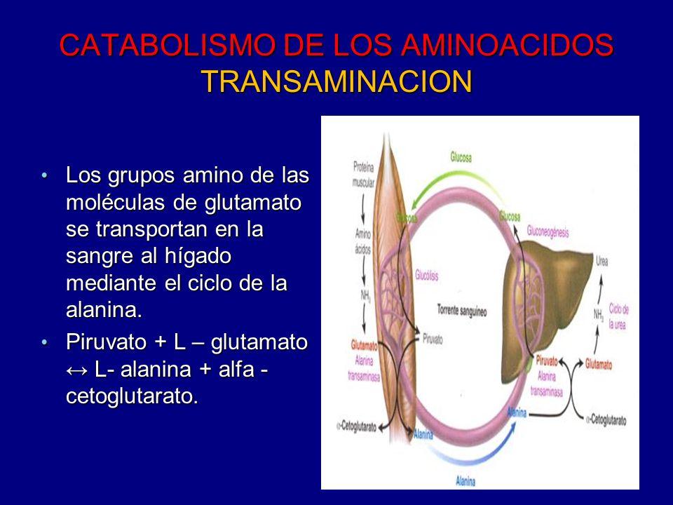 CATABOLISMO DE LOS AMINOACIDOS TRANSAMINACION En el hígado En el hígado El glutamato se forma al invertirse la reacción catalizada por la alanina transaminasa.
