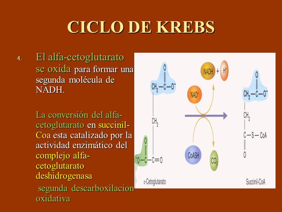 CICLO DE KREBS 4. El alfa-cetoglutarato se oxida para formar una segunda molécula de NADH. La conversión del alfa- cetoglutarato en succinil- Coa esta