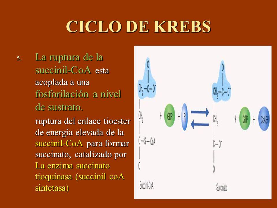 CICLO DE KREBS 5. La ruptura de la succinil-CoA esta acoplada a una fosforilación a nivel de sustrato. ruptura del enlace tioester de energía elevada