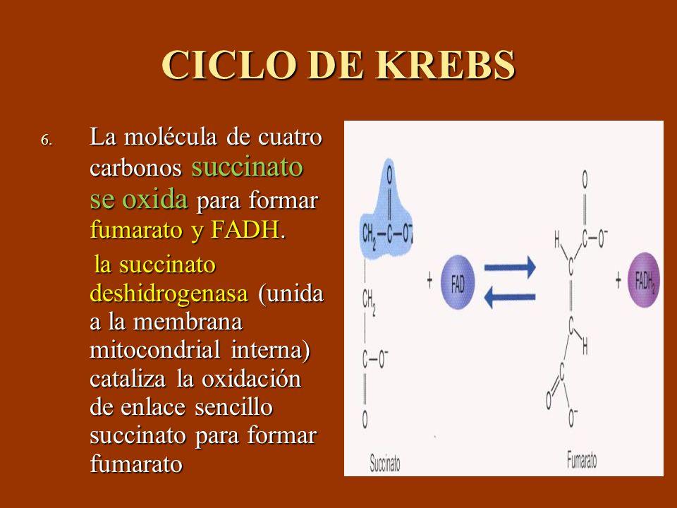 CICLO DE KREBS 6. La molécula de cuatro carbonos succinato se oxida para formar fumarato y FADH. la succinato deshidrogenasa (unida a la membrana mito