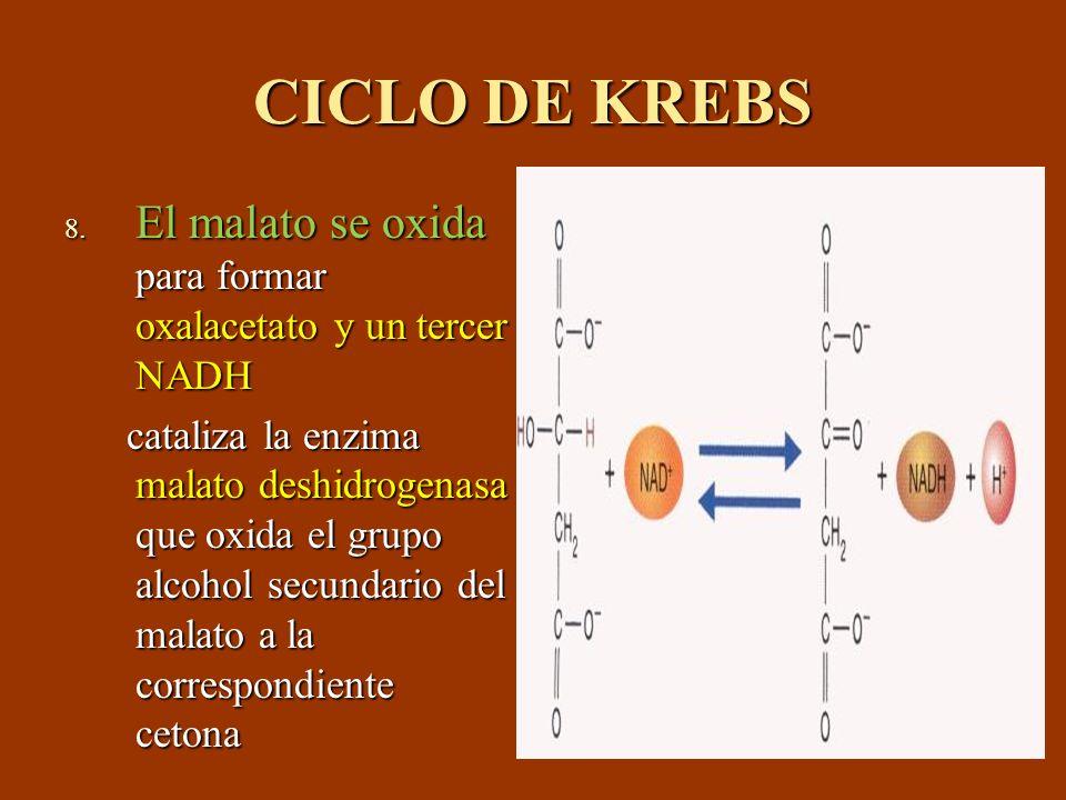 CICLO DE KREBS 8. El malato se oxida para formar oxalacetato y un tercer NADH cataliza la enzima malato deshidrogenasa que oxida el grupo alcohol secu