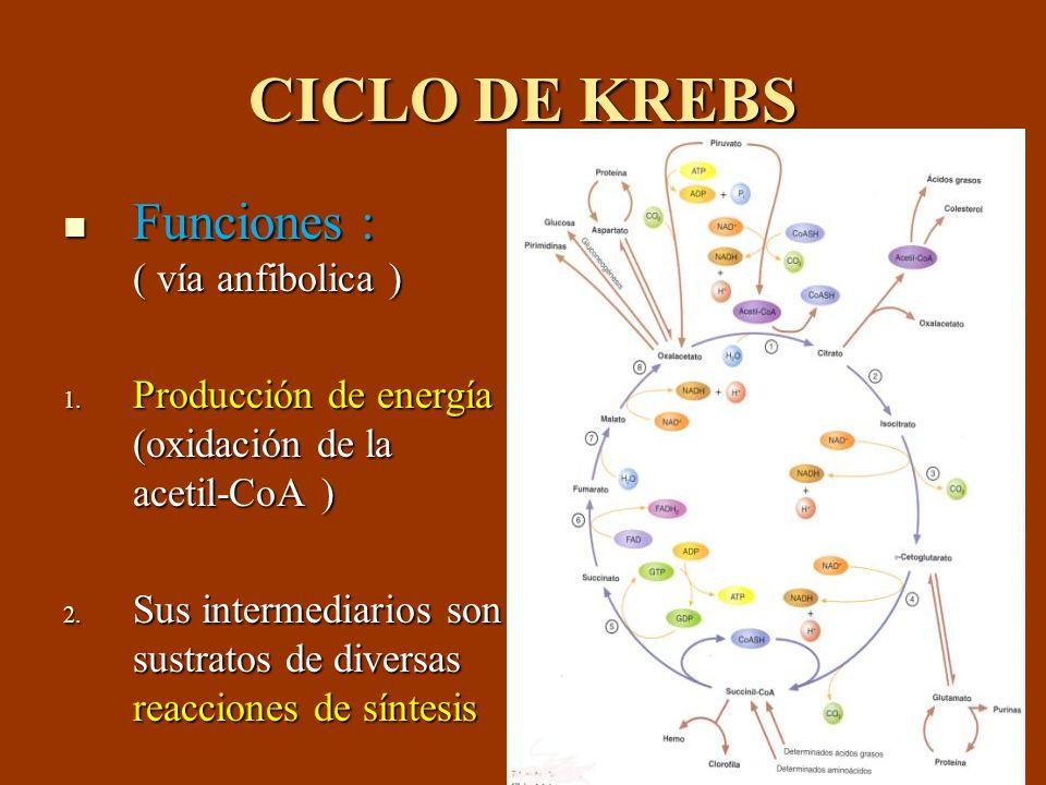 CICLO DE KREBS Funciones : ( vía anfibolica ) Funciones : ( vía anfibolica ) 1. Producción de energía (oxidación de la acetil-CoA ) 2. Sus intermediar