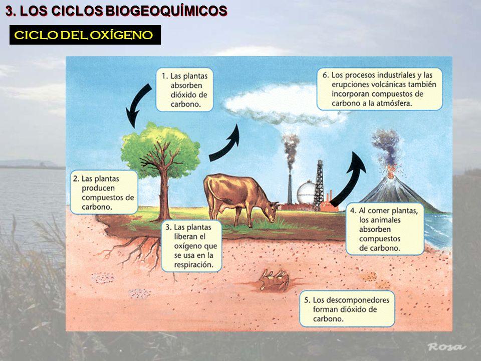 3. LOS CICLOS BIOGEOQUÍMICOS CICLO DEL OXÍGENO