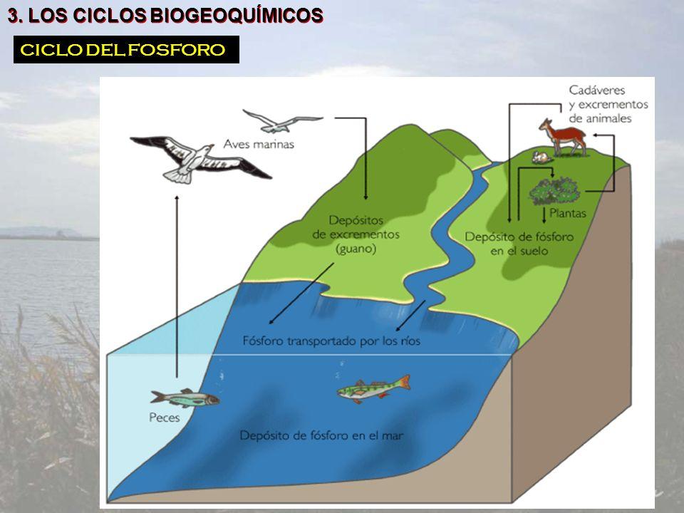 3. LOS CICLOS BIOGEOQUÍMICOS CICLO DEL FOSFORO