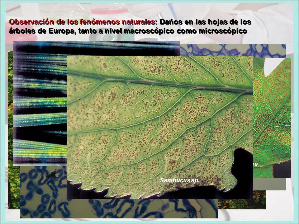 Observación de los fenómenos naturales: Daños en las hojas de los árboles de Europa, tanto a nivel macroscópico como microscópico Observación de los f