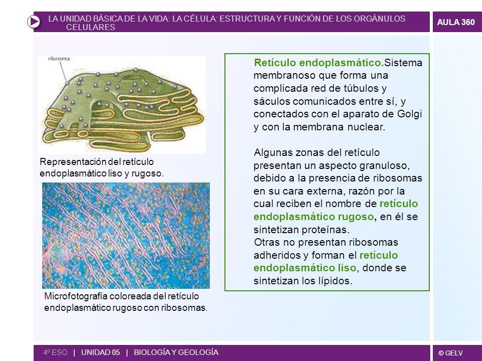 © GELV AULA 360 4º ESO | UNIDAD 05 | BIOLOGÍA Y GEOLOGÍA Representación del retículo endoplasmático liso y rugoso. Microfotografía coloreada del retíc