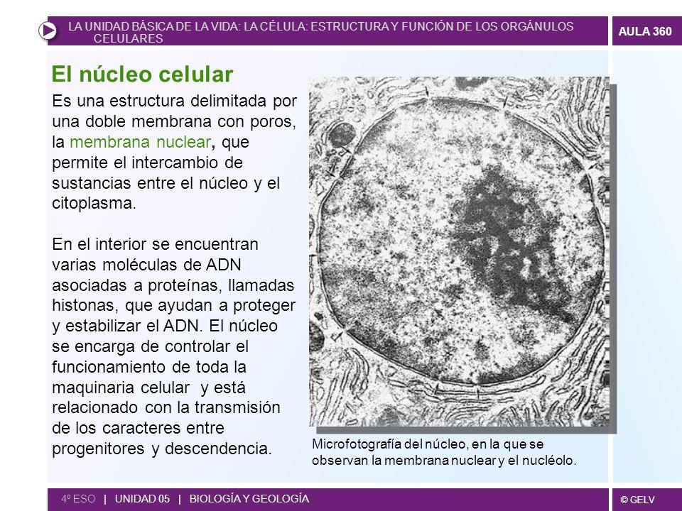 © GELV AULA 360 4º ESO | UNIDAD 05 | BIOLOGÍA Y GEOLOGÍA Es una estructura delimitada por una doble membrana con poros, la membrana nuclear, que permi