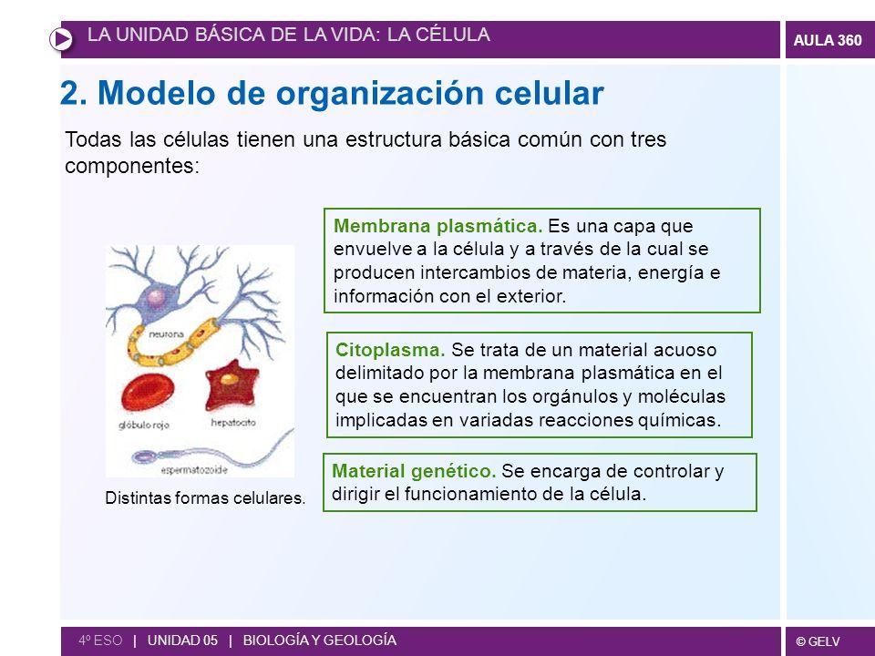 © GELV AULA 360 4º ESO | UNIDAD 05 | BIOLOGÍA Y GEOLOGÍA Modelo de organización procariota En las células procariotas el material genético se encuentra en contacto directo con el citoplasma.