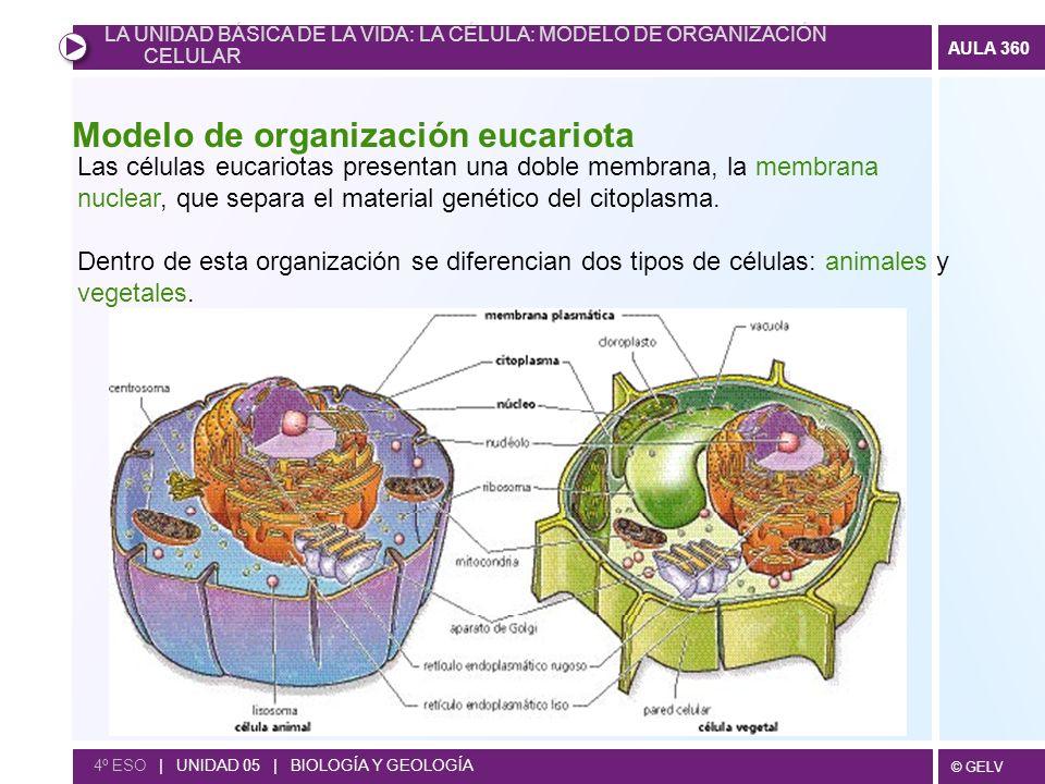 © GELV AULA 360 4º ESO | UNIDAD 05 | BIOLOGÍA Y GEOLOGÍA Modelo de organización eucariota Las células eucariotas presentan una doble membrana, la memb
